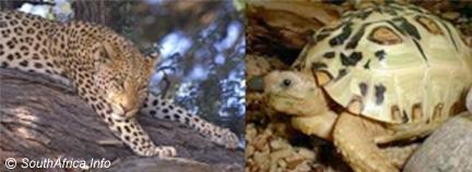 The Leopard Tortoise