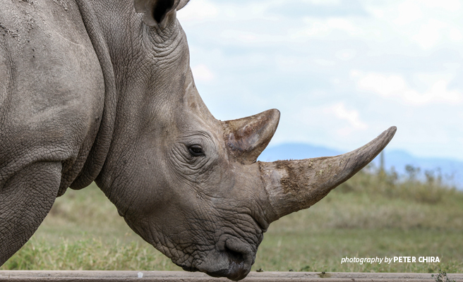 Close-up photo of adult rhino in Tsavo conservation area in Kenya