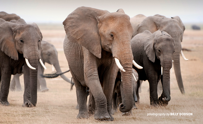 Photo of a herd of African elephants in open savannah grassland