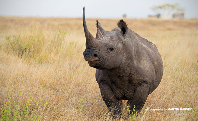 Black rhino in the African savanna