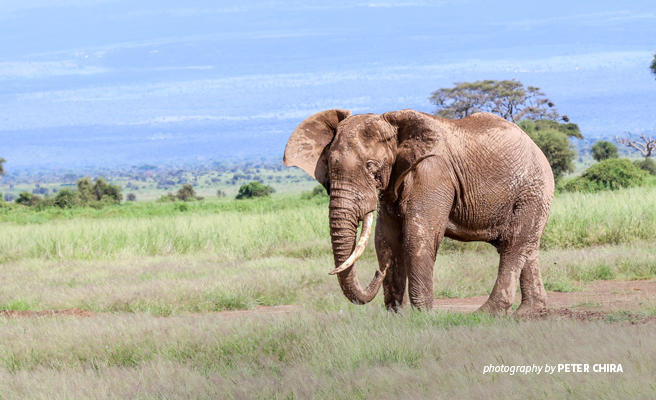 Photo of lone African elephant in savanna grassland in Amboseli National Park, Kenya