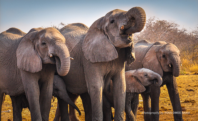 Herd of African elephants in Etosha National Park