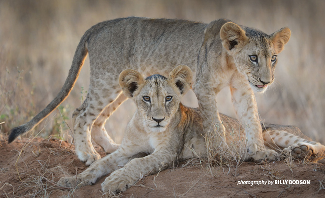 Close-up photo of two African lion cubs in dry savanna grassland
