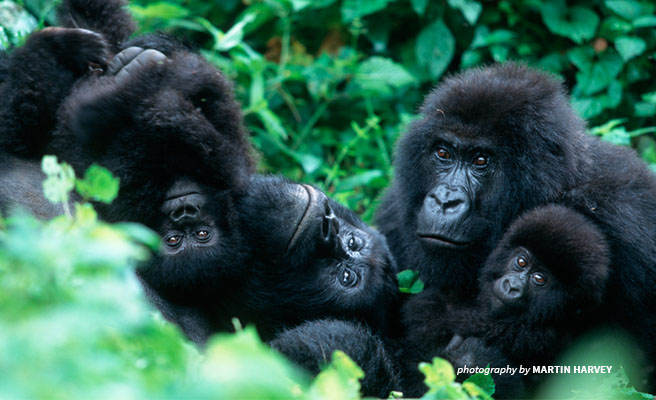 Photo of family of 4 mountain gorillas in Virunga