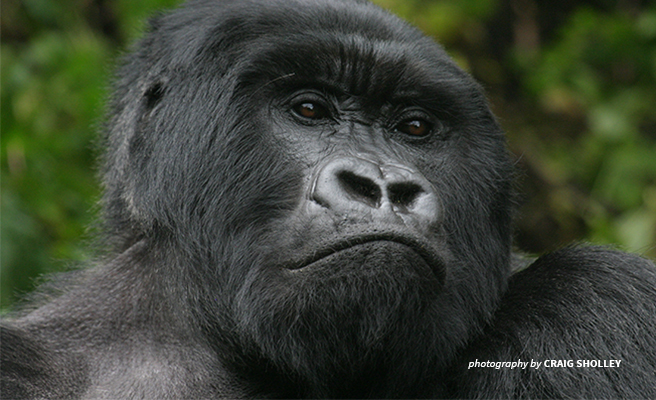 Mountain gorilla in Virunga National Park, Rwanda