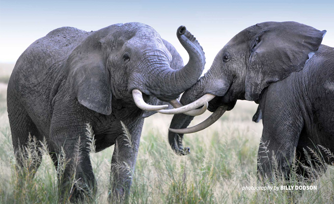 Picture of two African elephants in the savannah