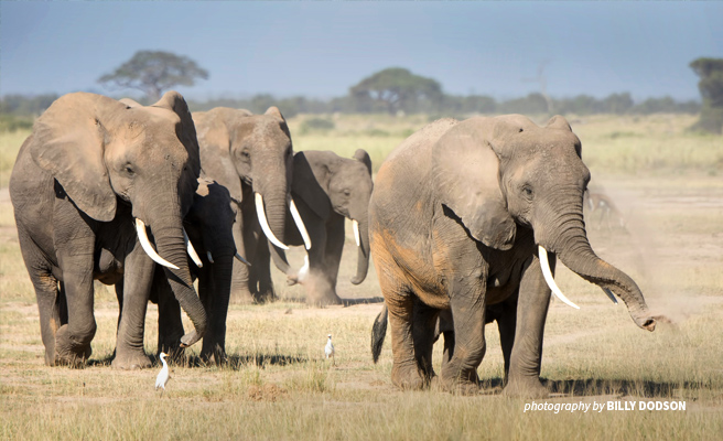 Photo of a herd of African elephants in walking in dusty savannah grassland