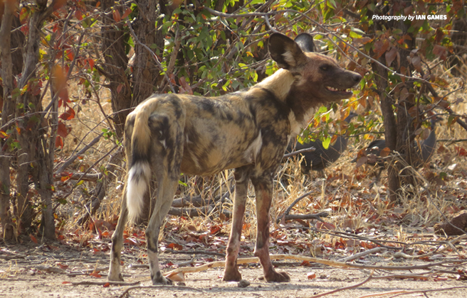 Photo of an African wild dog in Zimbabwe's Hwange National Park