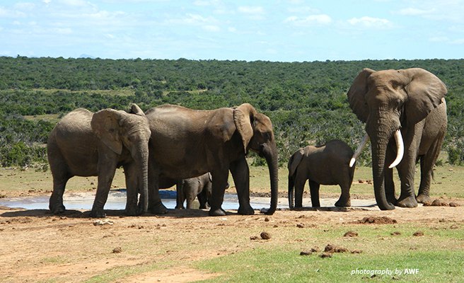 Image of elephant herd on the savanna