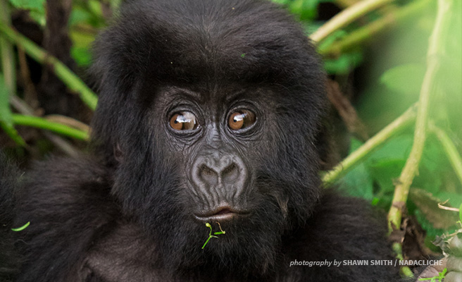 Image of the baby gorilla named at the Kwita Izina ceremony.