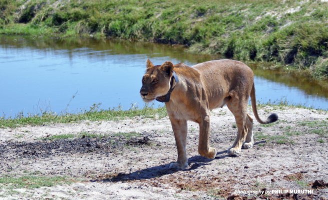 Photo of lioness wearing a radio collar