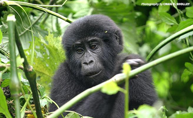 Image of an infant mountain gorilla surrounded by leaves