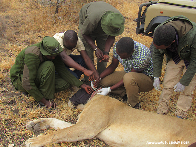 Image of rangers and scientists collaring a lion