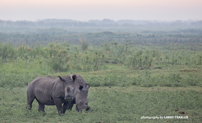 Photo of two rhinos grazing on a plain in Botswana