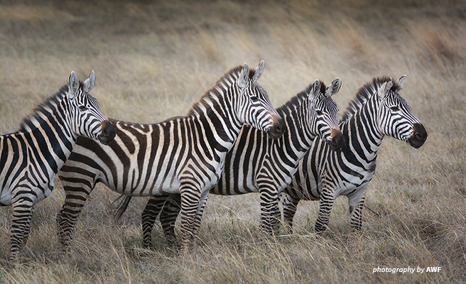 Image of four zebras on a plain