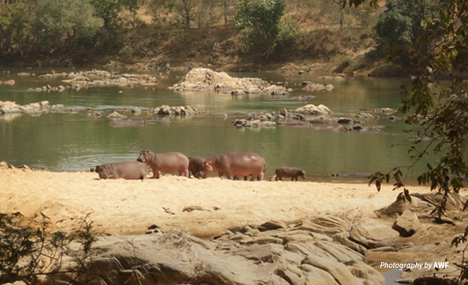Landscape photo of hippos basking on the banks of Faro River in northern Cameroon