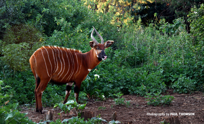 Photo of a lone bongo antelope browsing Bili-Uele forest vegetation in northern DRC