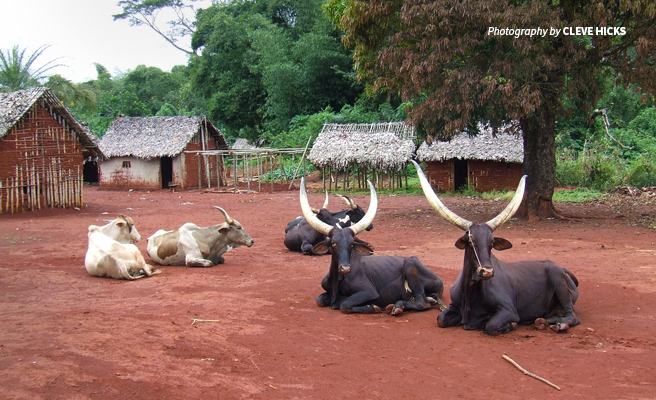 Photo of cattle belonging to pastoralist communities settled within Bili-Uele Protected Area Complex in DRC