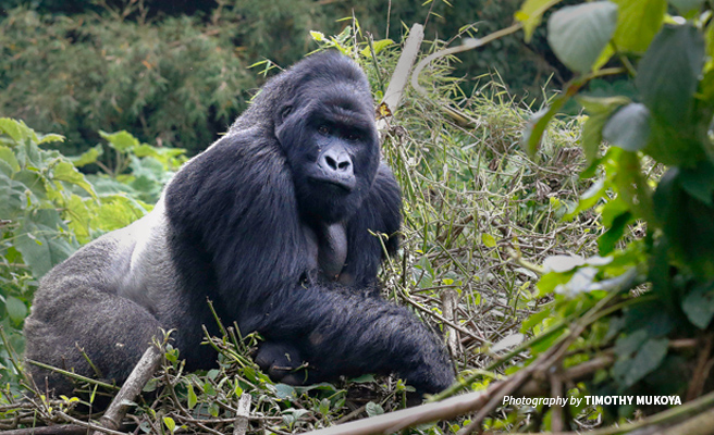 Photo of adult silverback mountain gorilla in Volcanoes National Park in Rwanda