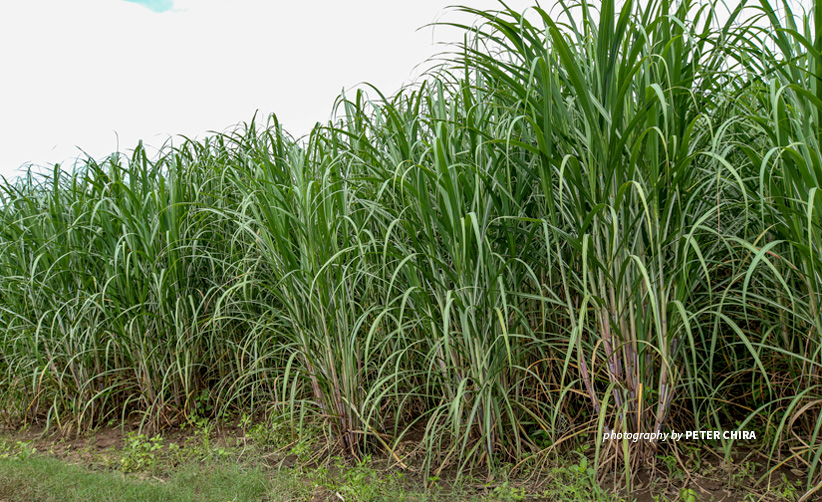 Photo of sugarcane plantation in Southern Tanzania village adopting climate-smart practices