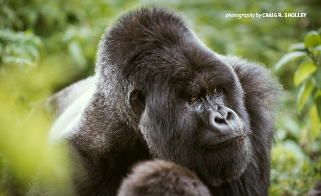 Close-up photo of silverback mountain gorilla in Volcanoes National Park in Rwanda