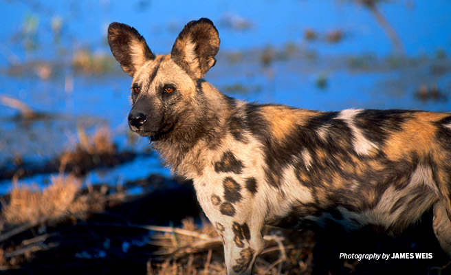Photo of African wild dog in Southern Africa