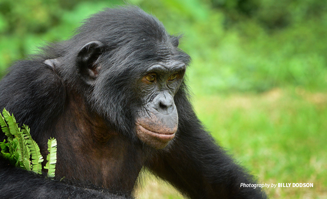Close-up photo of bonobo in DRC