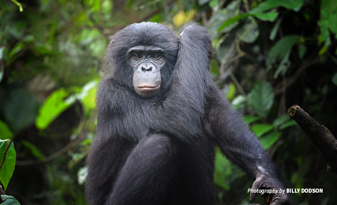 Photo of an endangered bonobo sitting in tropical forest of DRC