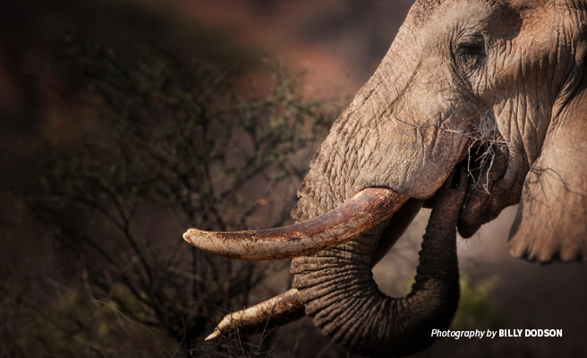 Close-up photo of an African elephant's tusk and trunk