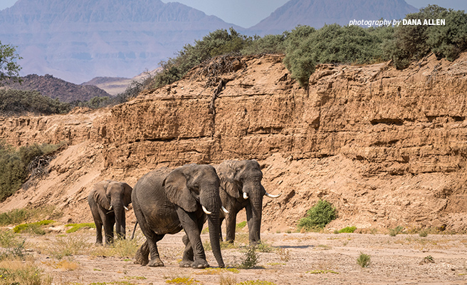 Photo of three adult desert-adapted elephants in northwest Namibia with rocky mountains in background