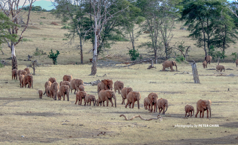Photo of large herd of elephants crossing open savannah grassland in Tsavo landscape