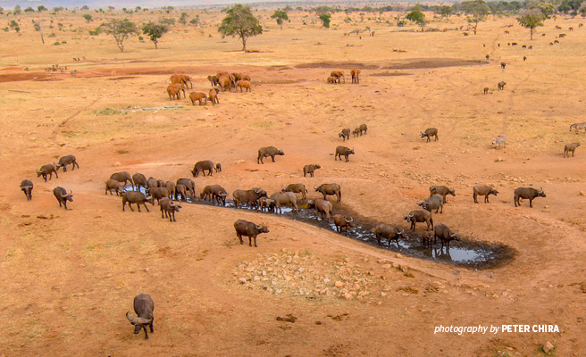 Aerial photo of elephant and buffalo at watering hole in transboundary Tsavo landscape