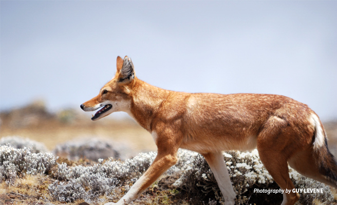 Photo of Ethiopian wolf in Simien Mountains National Park