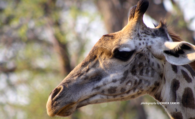 Close-up photo of a giraffe browsing on trees in African wildlife area