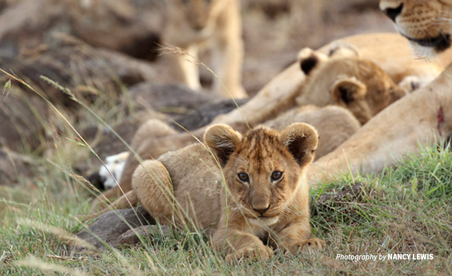 Close-up photo of lion cub in a pride