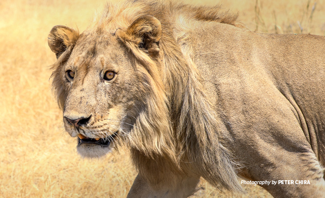 Close-up photo of adult lion in Manyara Ranch Conservancy