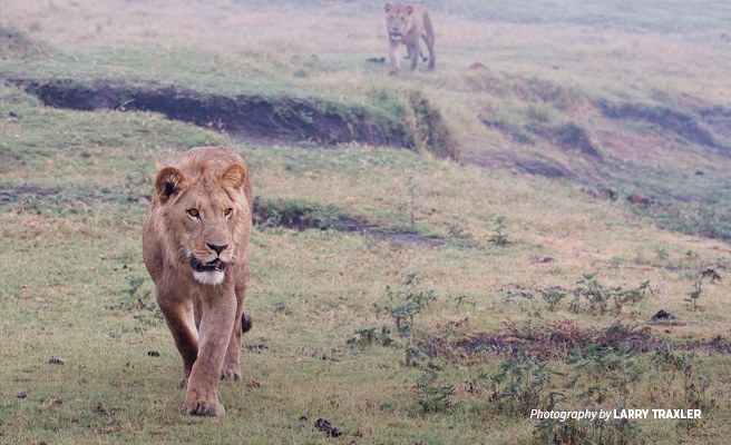 Photo of two lions in open grassland in Botswana