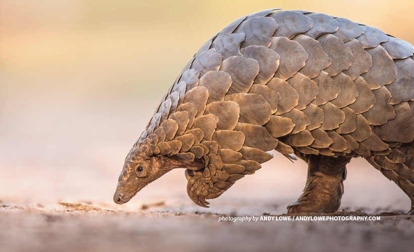 Photo of a pangolin in dry savannah landscape in Africa