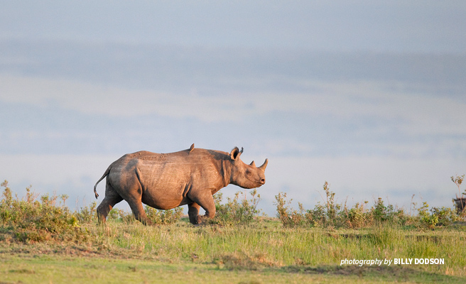 Photo of lone white rhino grazing on open savannah grassland in southern Africa