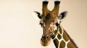 Giraffe Robyn Gianni