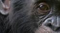 Bonobo Craig R. Sholley