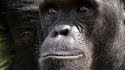 Chimpanzee Craig R. Sholley