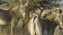 Grevy Zebra Barbara von Hoffman