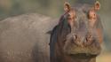 Hippo Joe Dodson