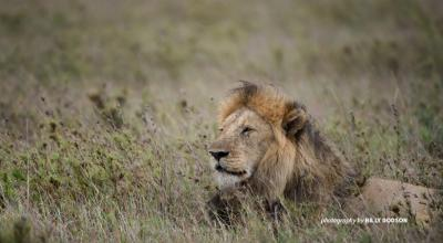 Male African lion sitting in savanna grassland