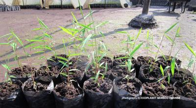 Bamboo wildings for Volcanoes National Park ecological restoration