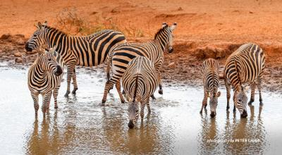 Herd of zerbras at watering hole in Tsavo, Kenya