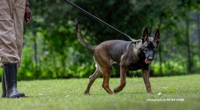 Photo of AWF-trained sniffer dog at Canines for Conservation facility in Usa River