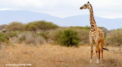 Photo of young giraffe in dry savannah grassland in Tsavo wildlife area in Kenya