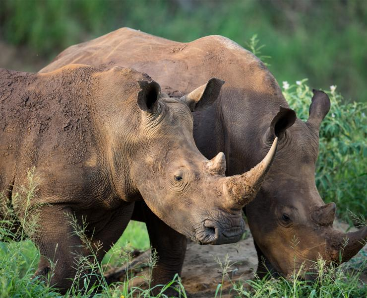 Two Rhinos together foraging